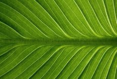 Structure of leaf Royalty Free Stock Images