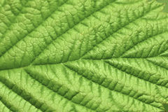 Structure of a leaf. Stock Photography