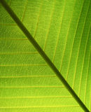Structure of leaf natural background Royalty Free Stock Image