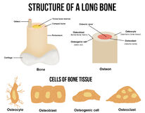 Structure of a long bone Stock Photography