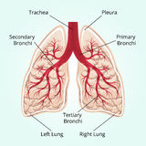Structure of the lungs Stock Photo
