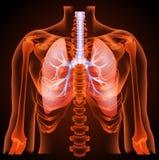 Structure médicale des poumons, anatomie Images stock