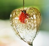 Structure mesh head Physalis peruviana stock photo