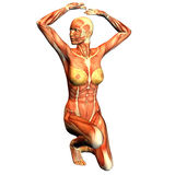 Structure of muscle of a sporty woman. 3d rendering of the female structure of muscle in gymnastic pose as illustration Royalty Free Stock Image