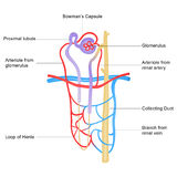 Structure of Nephron Stock Photos