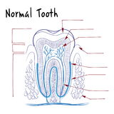 The structure of a normal human tooth Royalty Free Stock Image