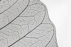 Free Structure Of Leaf Royalty Free Stock Photography - 52368087