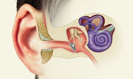 Free Structure Of The Human Ear. Image Stock Photos - 196251793