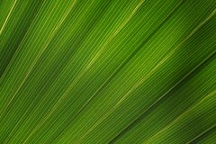Structure of a palm leaf Stock Photo