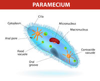 Structure of a paramecium Royalty Free Stock Photos