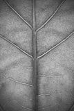 Structure of plant leaf close-up in monochrome Stock Photography