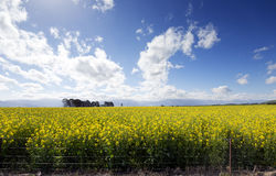 A structure plantation of Canola flowers Stock Images