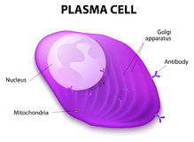 Structure of the Plasma cell. Plasma cell, or B cell, or plasmocyte. White blood cells that secrete of antibodies. They are transported by the blood plasma and Royalty Free Stock Image