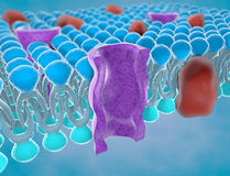 Structure of the plasma membrane. Of a cell Royalty Free Stock Images