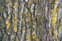 The structure of poplar bark - texture Stock Images