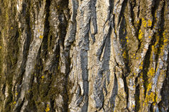 The structure of poplar bark - texture Stock Photography