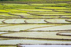 Structure of rice field in Iran countryside. Rice fields by Caspian Sea with fresh green plants in water stock photo