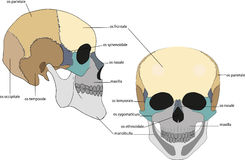 Structure of the scull Stock Photo