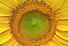 Structure of the seeds a young, blooming sunflower, close-up Stock Image