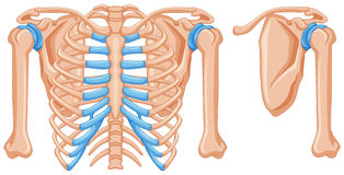Structure of shoulder bones. Illustration Stock Photography