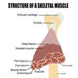Structure of a skeletal muscle Royalty Free Stock Photo