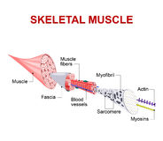 Structure of skeletal muscle. Each skeletal muscle fiber has many bundles of myofilaments. Each bundle is called a myofibril. This is what gives the muscle its Stock Photo
