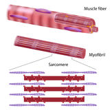 Structure of skeletal muscle fiber. With actin and myosin filaments, eps10 Royalty Free Stock Images