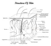Structure of skin Stock Image