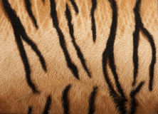 Structure of a skin of a tiger royalty free stock photo