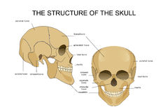 The structure of the skull. Vector illustration of the skull structure. anatomy Stock Photos