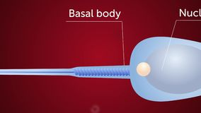 Structure of a sperm cell. Gynecology 2d animation. 2d animation about structure of a sperm cell vector illustration