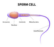 Structure of a sperm cell Stock Photo