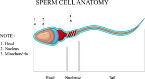 Structure of a sperm cell vector illustration