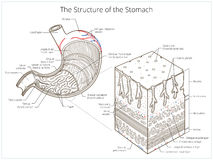 Structure of stomach medical educational vector. Illustration. Medicine science stock illustration