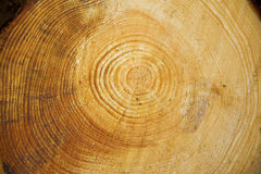 Structure of the tree Royalty Free Stock Photography