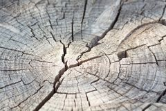 The structure of the tree. Stump of old wood in a cut, Royalty Free Stock Image
