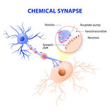 Structure of a typical chemical synapse. neurotransmitter release mechanisms vector illustration