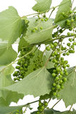 Structure of unripe green grapes Stock Photo