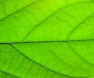 Structure verte de lame Photos stock
