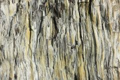 Petrified wood texture. The structure of the wooden surface that has petrified over time Royalty Free Stock Photography