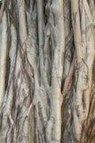 Structures d'un banian dans la fin  Photographie stock