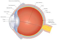 Structures Of The Human Eye Labeled Royalty Free Stock Photos