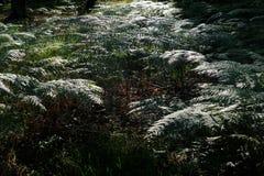 Structuur die van vele glanzend, varen op varenbladen in het bos in achterlicht wijzen stock fotografie