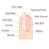 Structuur en anatomie van menselijke spijker Stock Illustratie