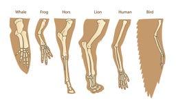 Structuur Forelimb van Zoogdieren Menselijk wapen Lion Forelimb Walvis Front Flipper Vogelvleugel Stock Afbeelding