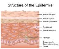 Structuur van de epidermis medische vectorillustratie, dermis anatomie stock illustratie