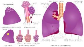 Structuur van de menselijke longen Stock Afbeelding