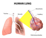 Structuur van de menselijke longen Menselijke anatomie Royalty-vrije Stock Afbeeldingen