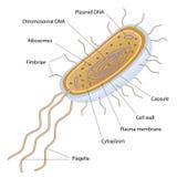 Structuur van een bacteriële cel Stock Foto's