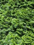 ConiferBushTexture 01 Stock Fotografie